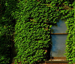 ivy and window
