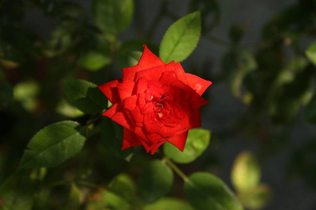 rose1.1