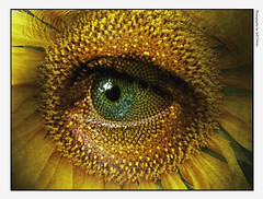 Sunflower with eye photo by FrAcTuReD...fOtOs