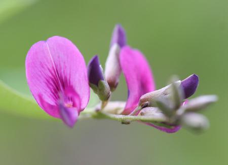 Bush clover