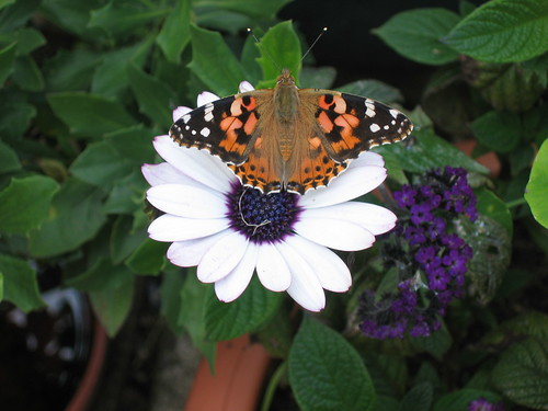 Painted Lady on the patio