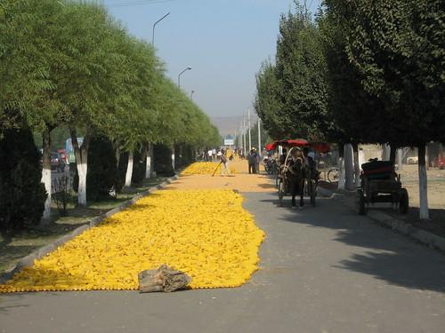 Drying corn on the roadside in Yining, western China / イニング市の道横でトウモロコシを乾燥する人たち(中国)