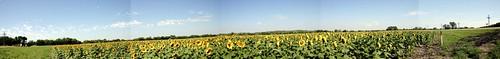 sunflowerspan.jpg