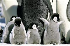 pingüinín