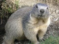 marmotita