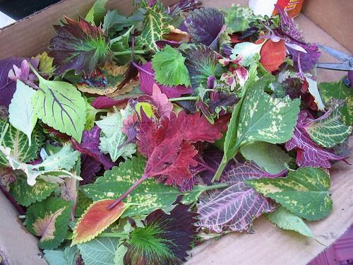Coleus Salad?