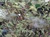 Gibasis geniculata