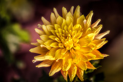 the Last Dahlia of 2012....... photo by P C Chang
