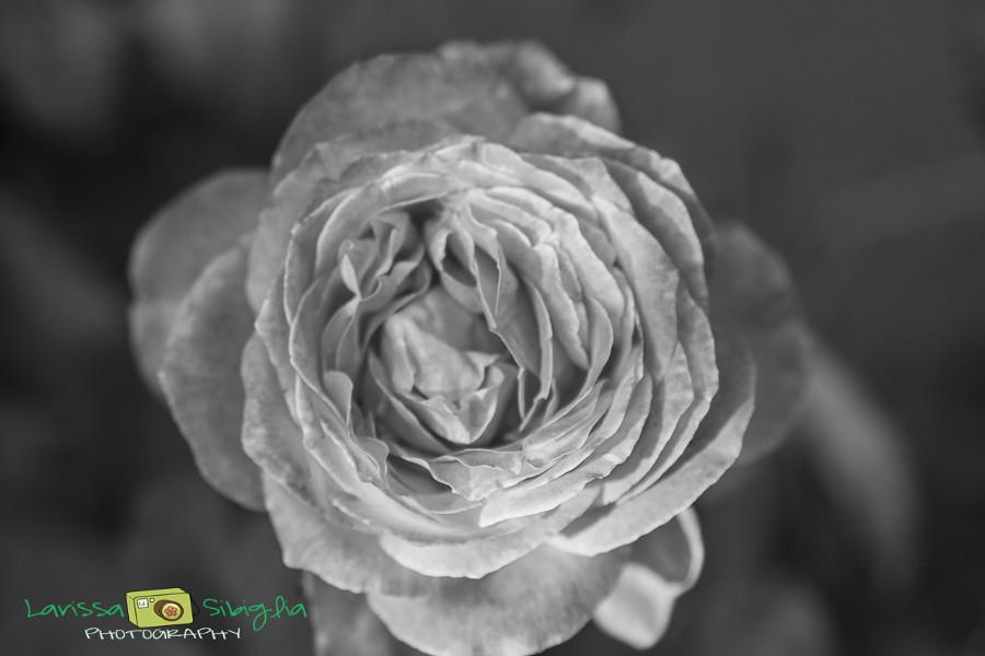 Rose-7606-2