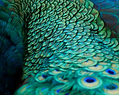 Peacock Abstract (Explored) photo by Bowen Chin