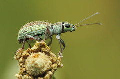 Small Green Leaf  Weevil photo by karthik Nature photography