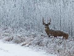 White-tailed buck in a winter wonderland photo by annkelliott