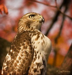 Juvy Red Tailed Portrait photo by NYC Wild