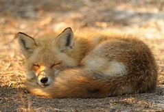 Red Fox at Island Beach State Park photo by Mark Schwall