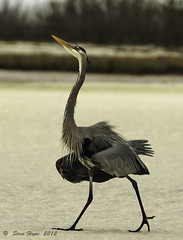 Great Blue Heron - Walking The Walk - Explore  #6  12-12-12 photo by stan hope Off and on.
