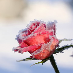frozen rose photo by bugman11