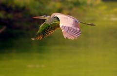 Grey Heron photo by Arsh_86