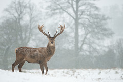 Red Deer - In Snowfall photo by Old-Man-George