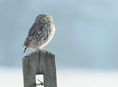 Little Owl photo by naturenev