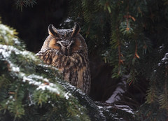 Winter owl photo by Pepijn Hof