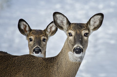 Double Deer photo by mizzginnn