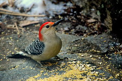Male Red-bellied Woodpecker photo by hickamorehackamore