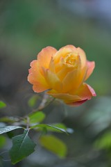 Rose 'Souvenir de Anne Frank' photo by myu-myu