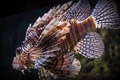 Lion Fish photo by StGrundy