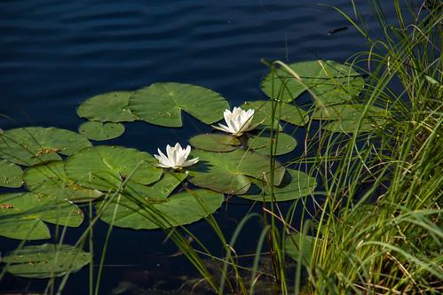Vandens lelijos