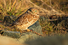 Burrowing Owl (Athene cunicularia) photo by Jared Hughey