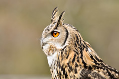 DSC_0424 Long Eared Owl photo by wilkie,j ( says NO to badger cull :(