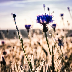 Cornflower & Sun photo by PeterGrayPhoto
