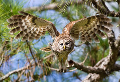 Barred Owl In Flight photo by Nature Photos by Scott
