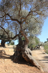 Millenium Olive tree photo by Marlis1