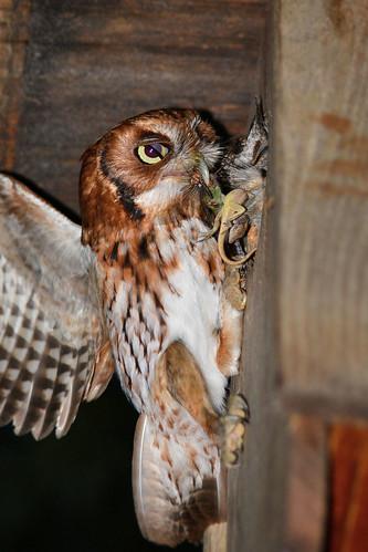 Screech Owl Breakfast