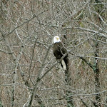 5/1/18 Bald Eagle sighting at Echo Lake Beach today
