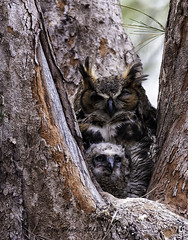 Great Horned Owl And Baby......Explore!  #28 photo by stan hope Off and on.