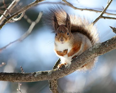 Red Squirrel in spring light photo by Mikko Sarén