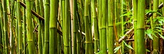 Bamboo Forest photo by Chris Galando Photo