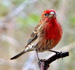 House Finch... Male photo by jamesfburns