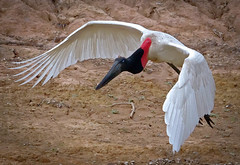 Jabiru Stork Flying photo by masaiwarrior