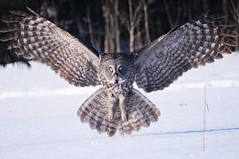 A great grey owl day in Ottawa photo by beyondhue