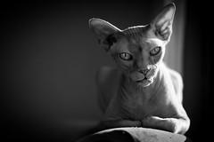Sphynx cat Mållgan photo by ulfbjolin