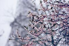 Neve e primavera. +3 EXPLORE photo by Partenope;V