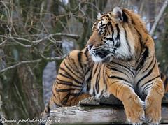 Sumatran Tiger. (Explored) photo by Paul S Wharton