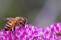 Macro: Bee photo by James*K