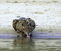 Female Jaguar Drinking photo by masaiwarrior