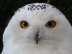 Snow Owl / Civetta delle nevi photo by libra1054