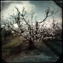 Fruit trees blooming photo by shollingsworth