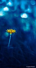 Cool Blue Dandelion photo by Jack Hood
